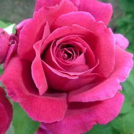 Krém na ruky RUŽA