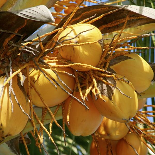 kokosove ořechy