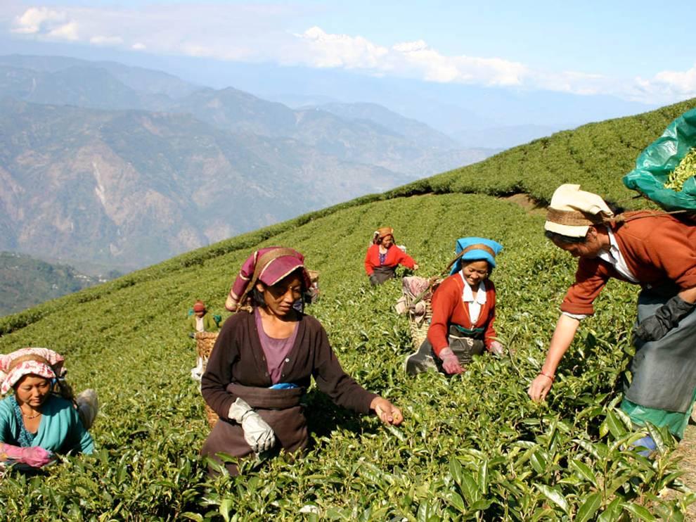 čajová plantáž zber